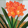 Clivia Miniata in bloom
