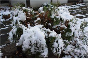 Evergreen-Snow