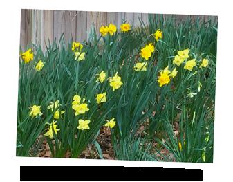 Daffodils in Ruth Clausen's garden